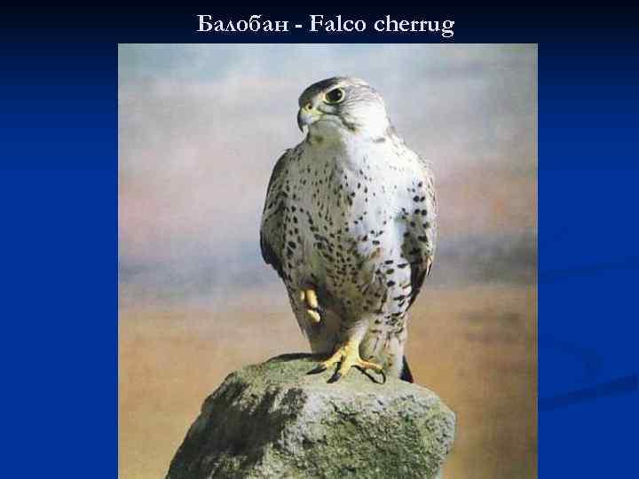 Балобан - Falco cherrug