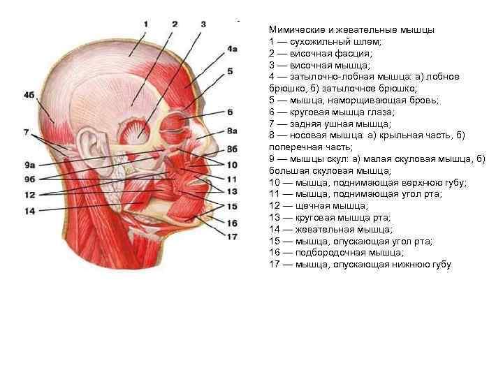 Мимические и жевательные мышцы 1 — сухожильный шлем; 2 — височная фасция; 3 —