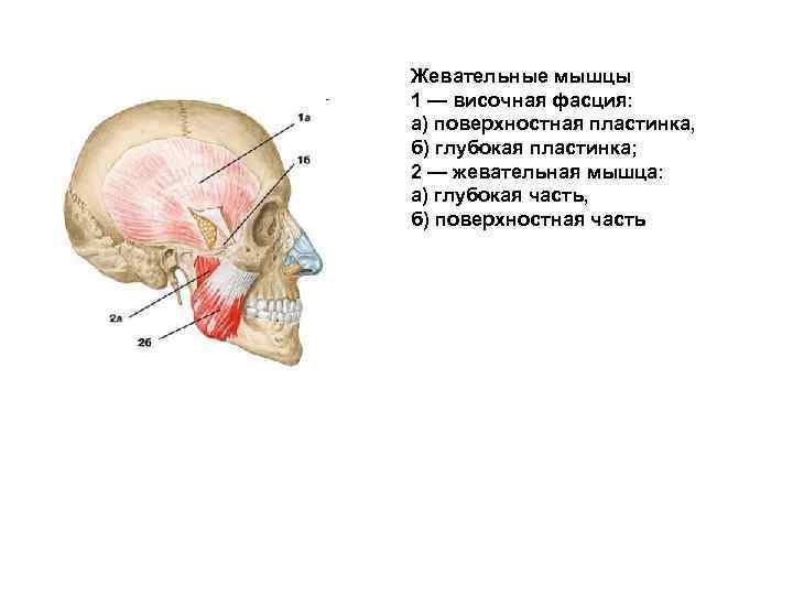 Жевательные мышцы 1 — височная фасция: а) поверхностная пластинка, б) глубокая пластинка; 2 —