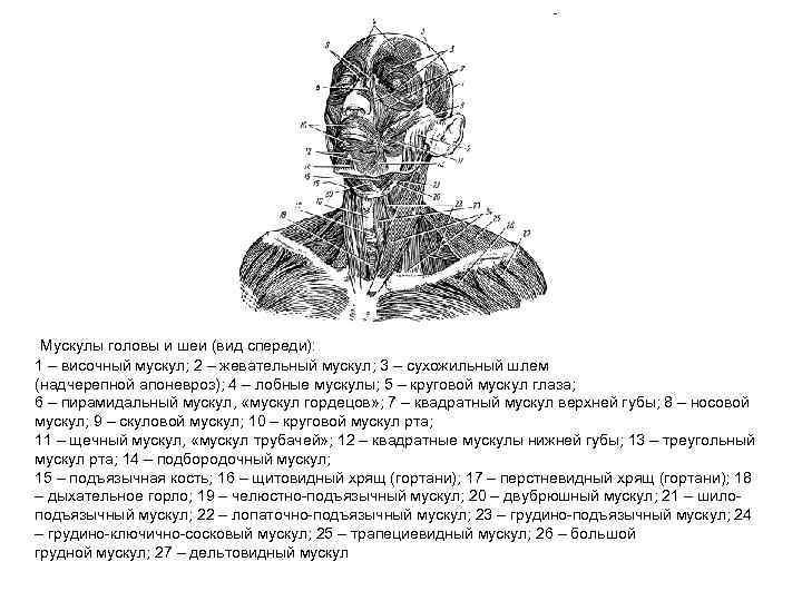 Мускулы головы и шеи (вид спереди): 1 – височный мускул; 2 – жевательный