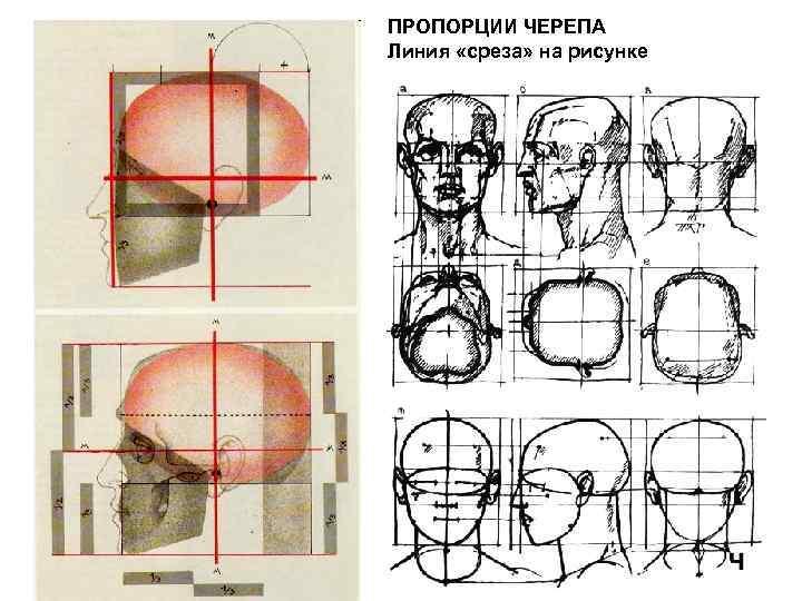 ПРОПОРЦИИ ЧЕРЕПА Линия «среза» на рисунке