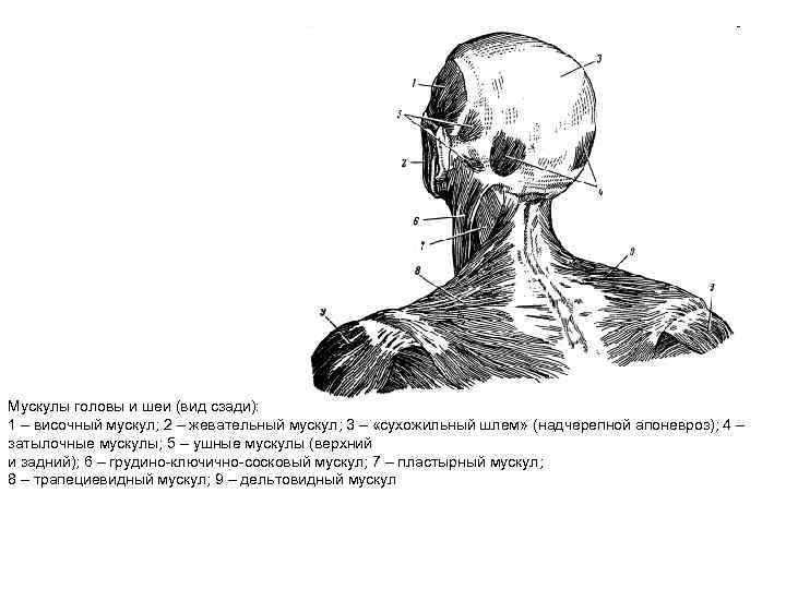 Мускулы головы и шеи (вид сзади): 1 – височный мускул; 2 – жевательный мускул;