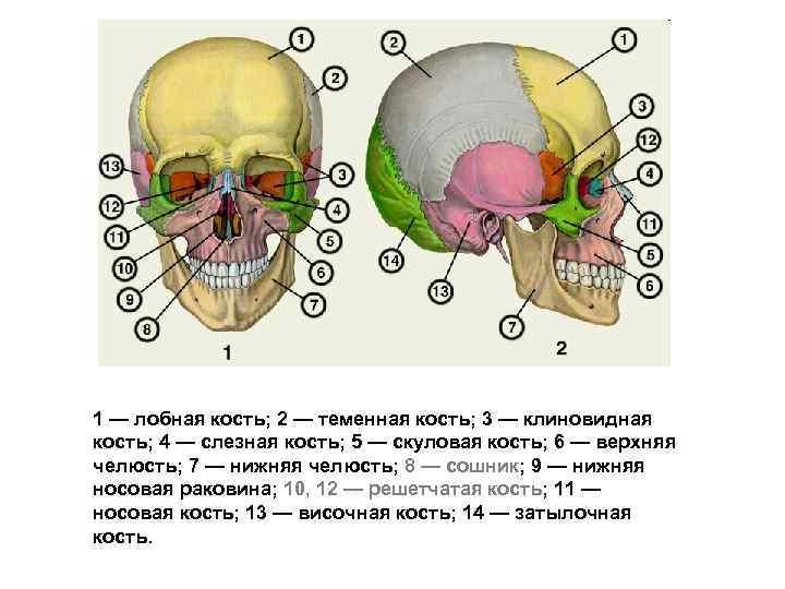 1 — лобная кость; 2 — теменная кость; 3 — клиновидная кость; 4 —