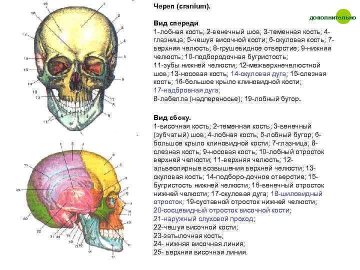 Череп (cranium).    дополнительно Вид спереди 1 -лобная кость; 2 -венечный шов;