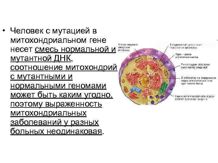 • Человек с мутацией в  митохондриальном гене  несет смесь нормальной и