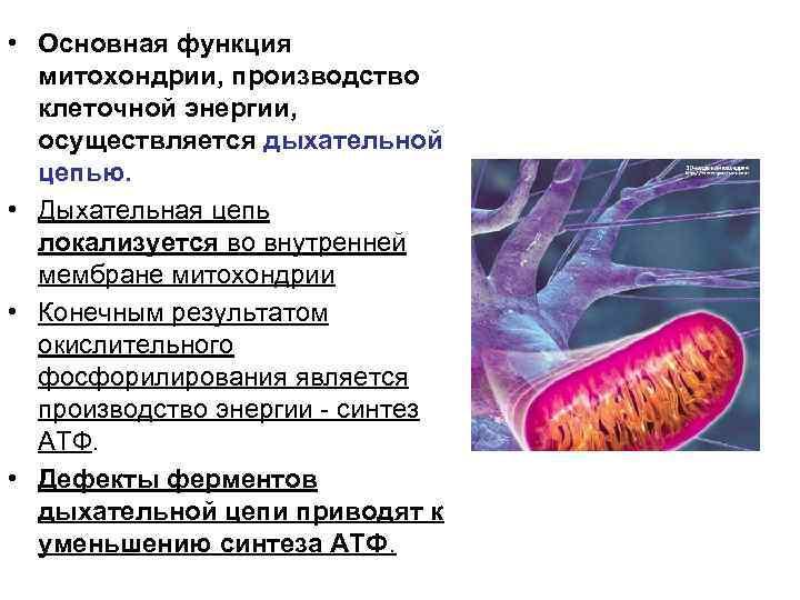 • Основная функция  митохондрии, производство  клеточной энергии,  осуществляется дыхательной