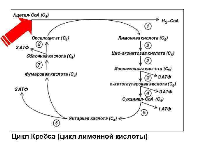 Цикл Кребса (цикл лимонной кислоты)