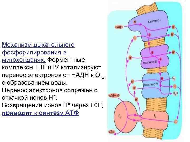 Механизм дыхательного фосфорилирования в митохондриях. Ферментные комплексы I, III и IV катализируют перенос электронов