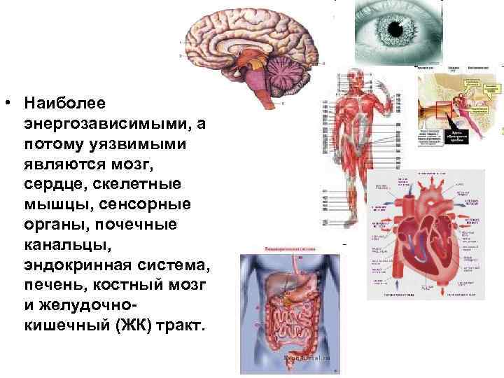 • Наиболее  энергозависимыми, а  потому уязвимыми  являются мозг,  сердце,