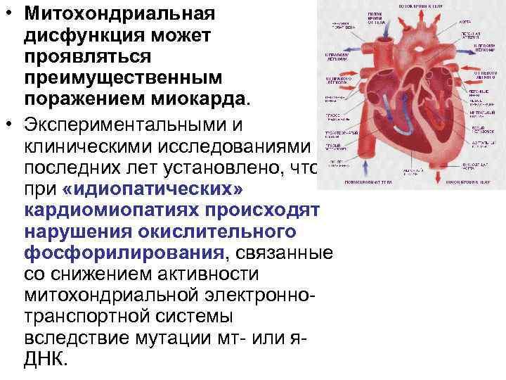 • Митохондриальная  дисфункция может  проявляться  преимущественным  поражением миокарда.