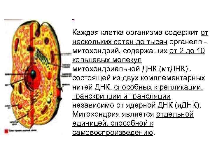 Каждая клетка организма содержит от нескольких сотен до тысяч органелл - митохондрий, содержащих от