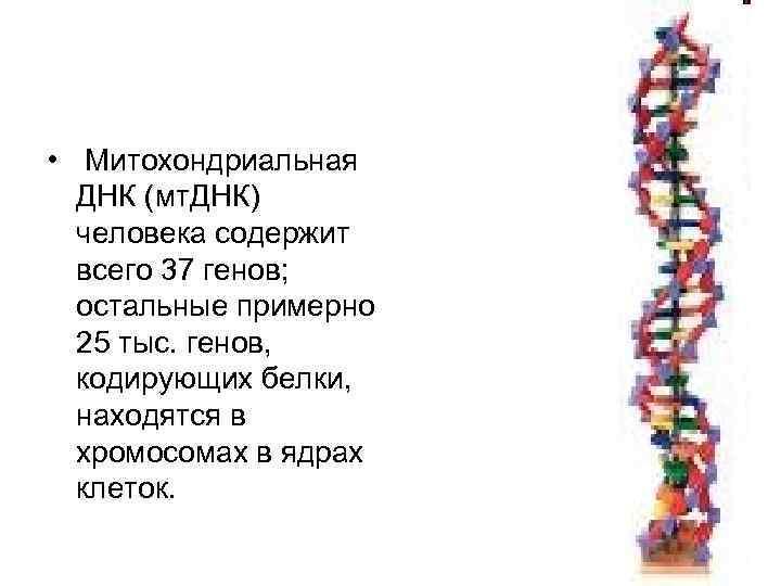 • Митохондриальная  ДНК (мт. ДНК)  человека содержит  всего 37 генов;