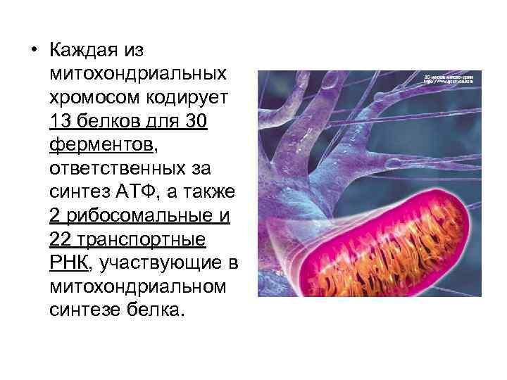 • Каждая из  митохондриальных  хромосом кодирует  13 белков для 30