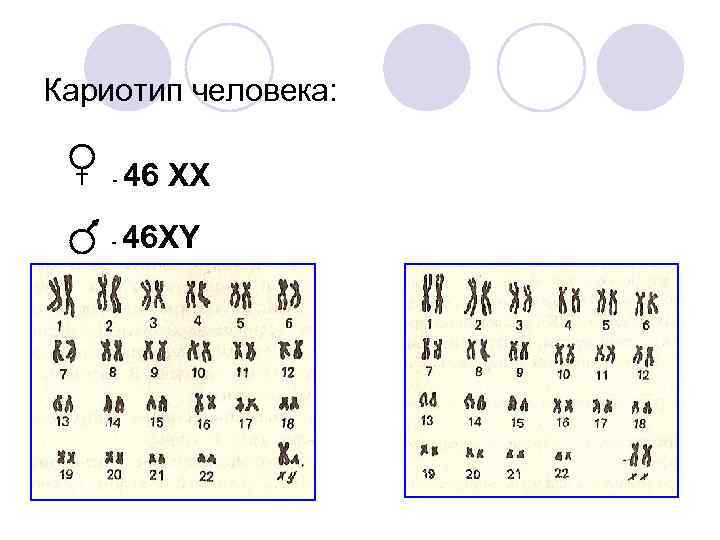 Кариотип человека:  -  46 XX -  46 XY