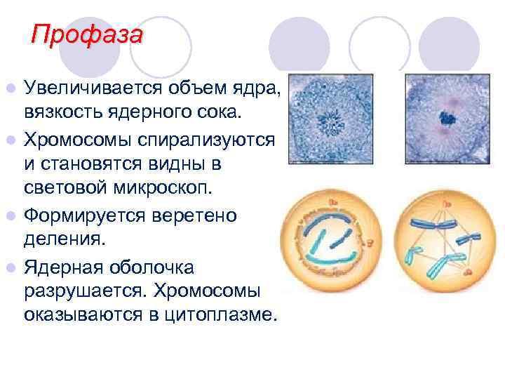 Профаза l Увеличивается объем ядра,  вязкость ядерного сока. l Хромосомы спирализуются