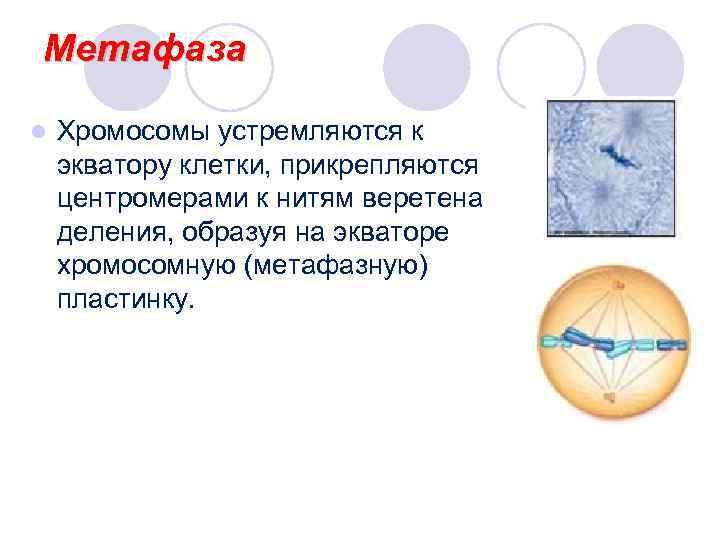 Метафаза l  Хромосомы устремляются к экватору клетки, прикрепляются центромерами к нитям веретена деления,