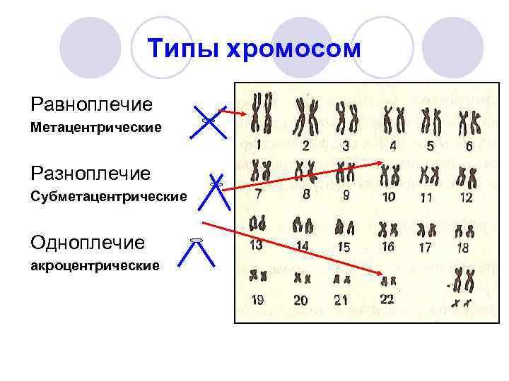 Типы хромосом Равноплечие Метацентрические  Разноплечие Субметацентрические  Одноплечие акроцентрические