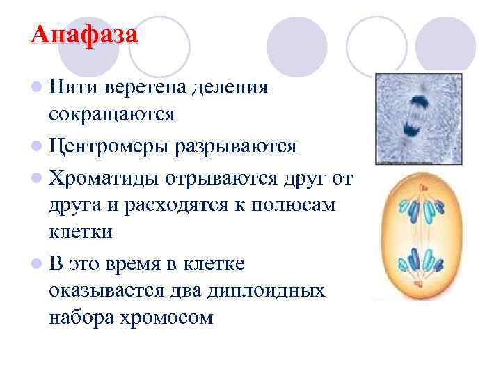 Анафаза l Нити веретена деления  сокращаются l Центромеры разрываются l Хроматиды отрываются друг