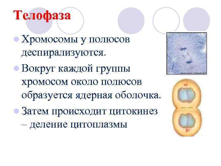 Телофаза l Хромосомы  у полюсов  деспирализуются. l Вокруг каждой группы  хромосом