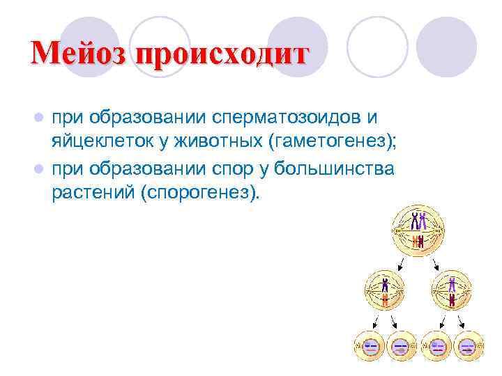 Мейоз происходит l при образовании сперматозоидов и  яйцеклеток у животных (гаметогенез); l при