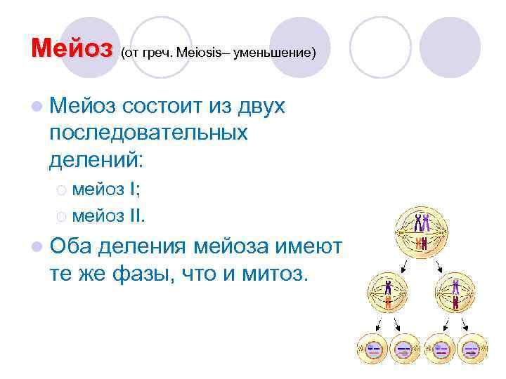 Мейоз (от греч. Meiosis– уменьшение) l Мейоз состоит из двух  последовательных  делений:
