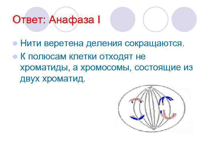 Ответ: Анафаза I l Нити веретена деления сокращаются. l К полюсам клетки отходят не