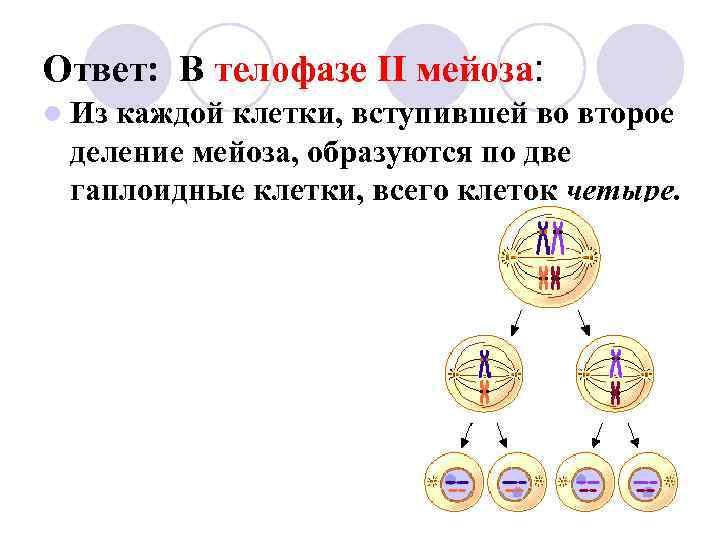 Ответ: В телофазе II мейоза: l Изкаждой клетки, вступившей во второе деление мейоза, образуются