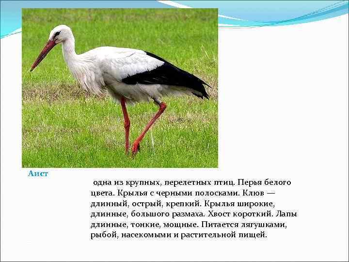 Аист  одна из крупных, перелетных птиц. Перья белого  цвета. Крылья с черными
