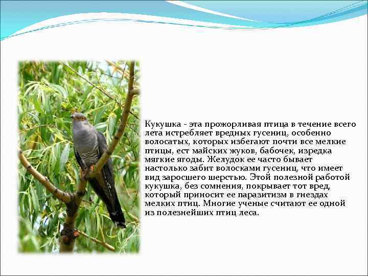 Кукушка - эта прожорливая птица в течение всего лета истребляет вредных гусениц, особенно волосатых,