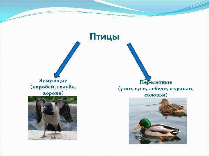 Птицы  Зимующие     Перелетные (воробей, голубь,