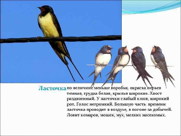 Ласточка по величине меньше воробья, окраска перьев  темная, грудка белая, крылья широкие. Хвост