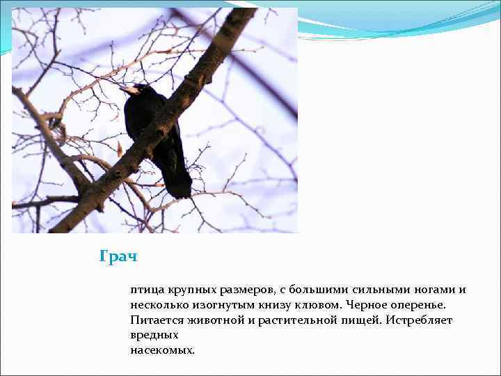 Грач  птица крупных размеров, с большими сильными ногами и  несколько изогнутым книзу