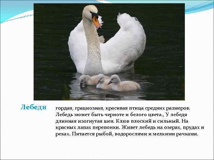 Лебеди  гордая, грациозная, красивая птица средних размеров.  Лебедь может быть черноте и