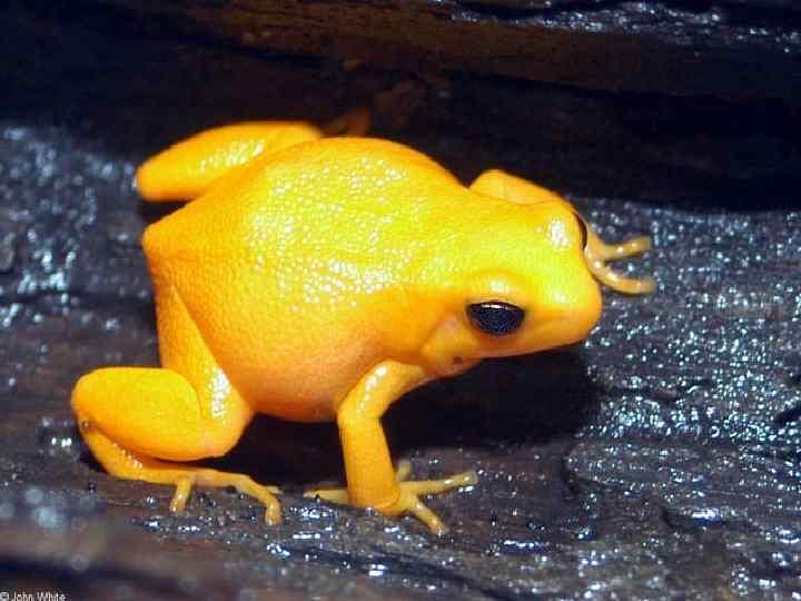 • Самая маленькая лягушка в Южном  полушарии - это золотая лягушка или
