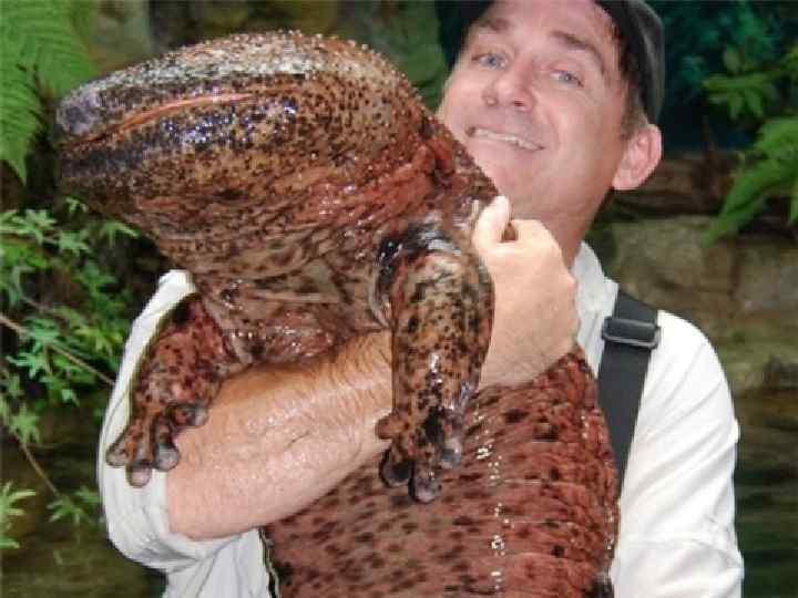 • Самое крупное земноводное – исполинская  саламандра.  • Это редкое животное,