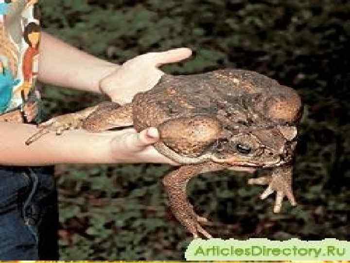 • Самая крупная жаба – ага, обитает в  Центральной и Южной Америке.