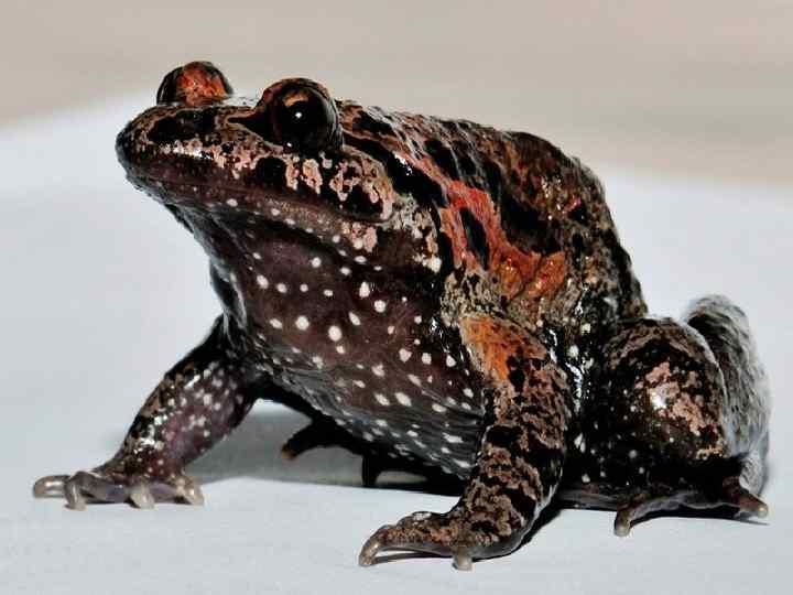 • Самый редкий в мире вид чернобрюхая  дискоязычная лягушка (круглоязычная), обитающая в