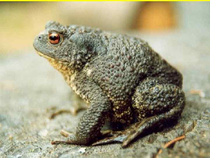• Обыкновенная, или серая, жаба  охотится с помощью языка.  • Завидев
