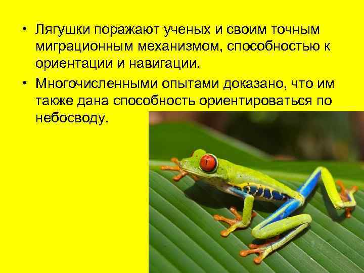 • Лягушки поражают ученых и своим точным  миграционным механизмом, способностью к