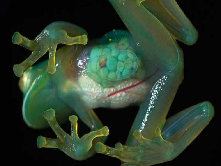 • В мире существует стеклянная  лягушка.  •  На первый взгляд