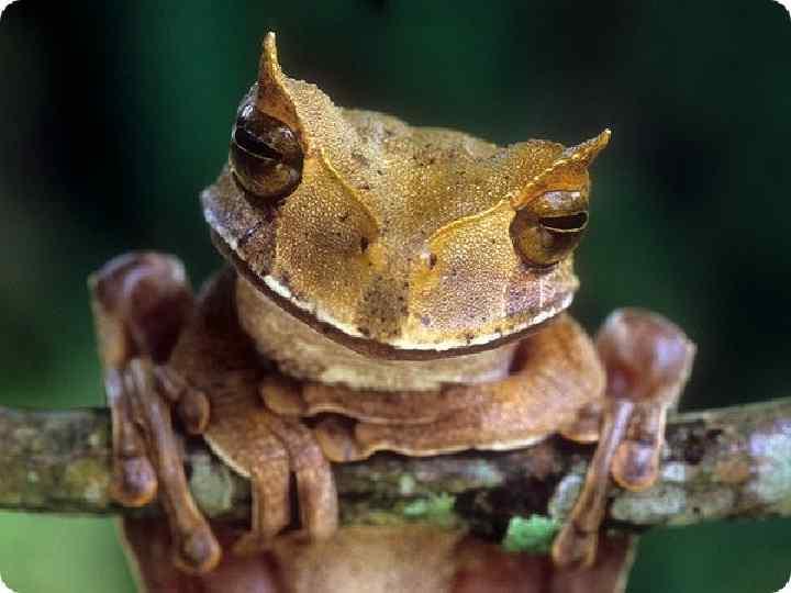 • Лягушки слушают легкими.  •  Да, есть такие уникумы - в