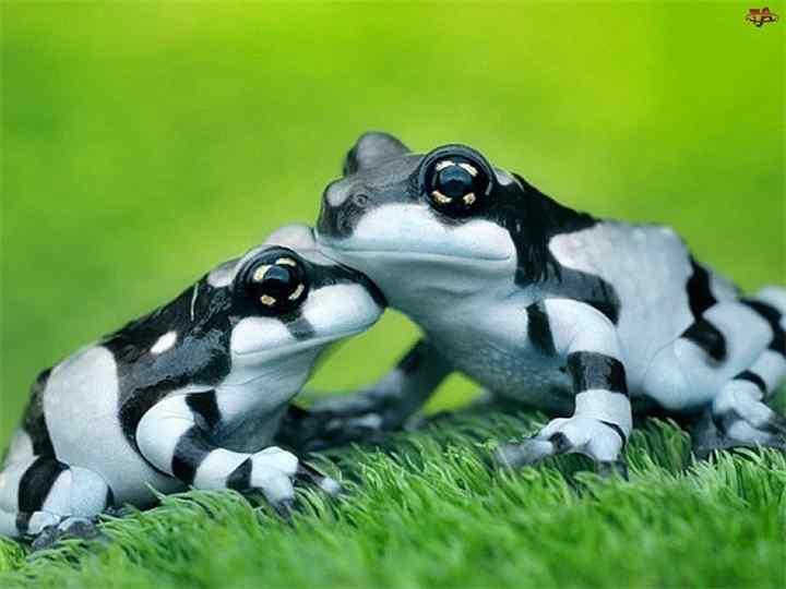 • Среди интересных фактов о земноводных  есть и такой: лягушки умеют удалять