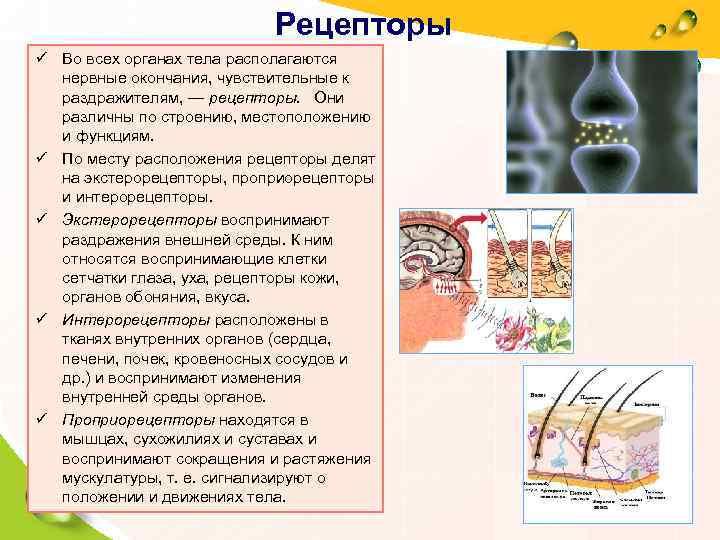 Рецепторы ü Во всех органах тела располагаются