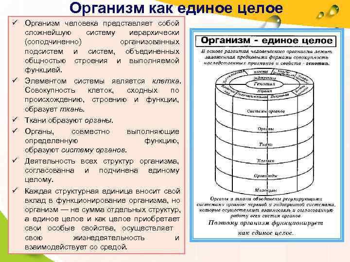Организм как единое целое ü Организм человека представляет собой