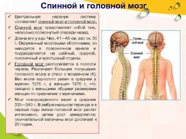 Спинной и головной мозг ü Центральную   нервную