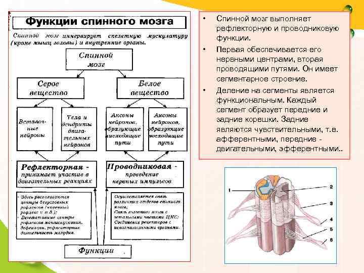 •  Спинной мозг выполняет рефлекторную и проводниковую функции.  •  Первая