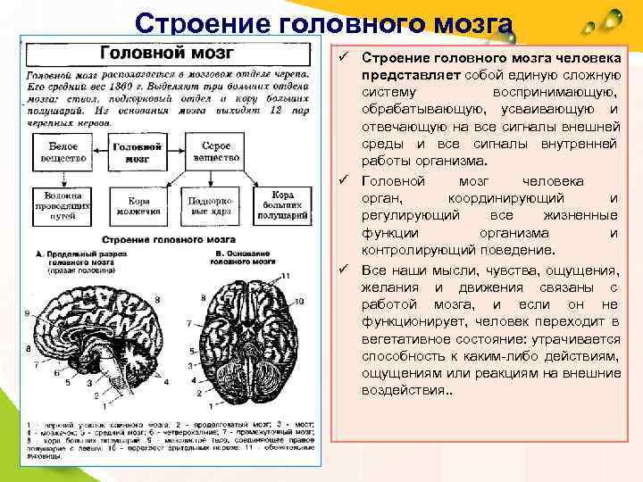 Строение головного мозга     ü Строение головного мозга человека