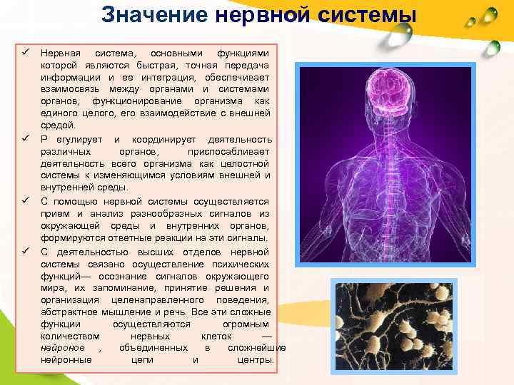 Значение нервной системы ü  Нервная система,  основными функциями