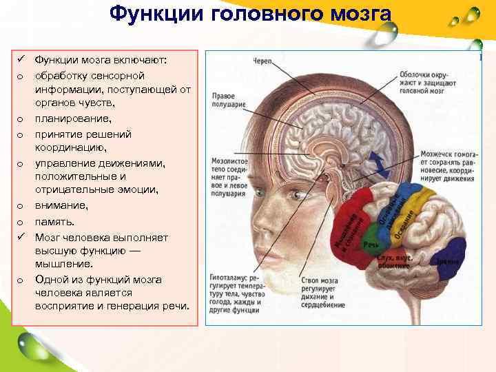 Функции головного мозга ü Функции мозга включают:  o обработку