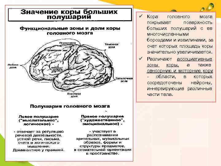 ü Кора головного мозга  покрывает  поверхность  больших полушарий с ее